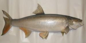 Fisch5